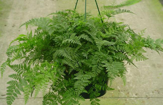Ferns | Indoor Office Plants