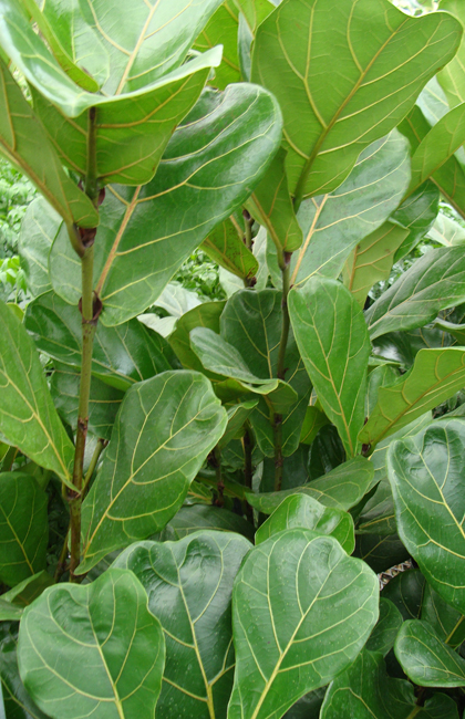 Ficus Indoor Office Plants