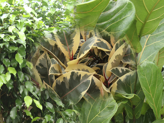 Commonly Called The Fig Family, There Are Many Common Houseplants Found  Here. There Are Tree Types Of Ficus And There Are Also Low Creepers Like  The ...