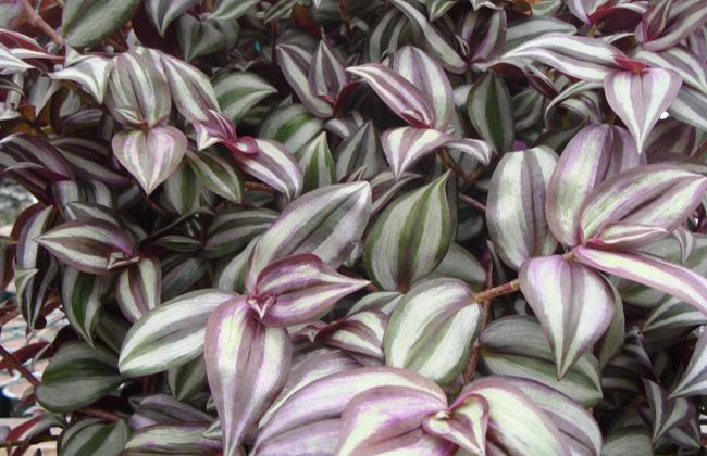 Wandering jew inch plant indoor office plants - Purple wandering jew plant ...